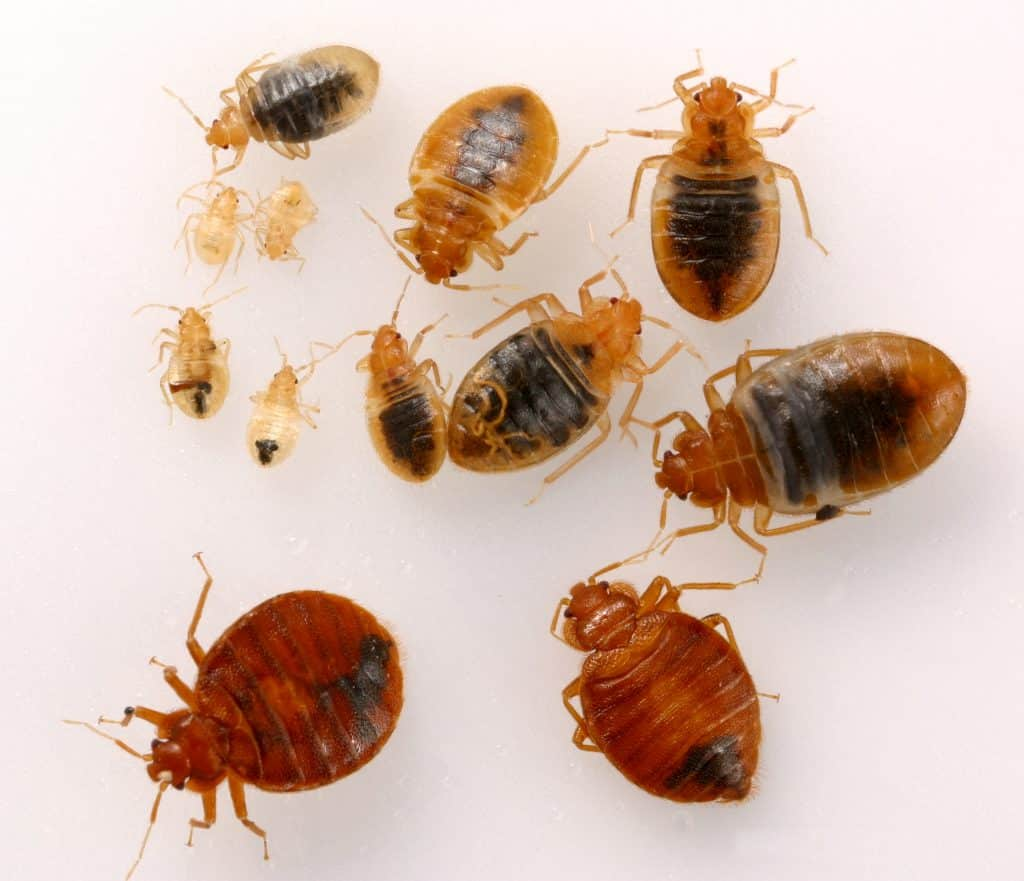 6 Steps To Safely Get Rid Of Bed Bugs Diy How To Bug Lord