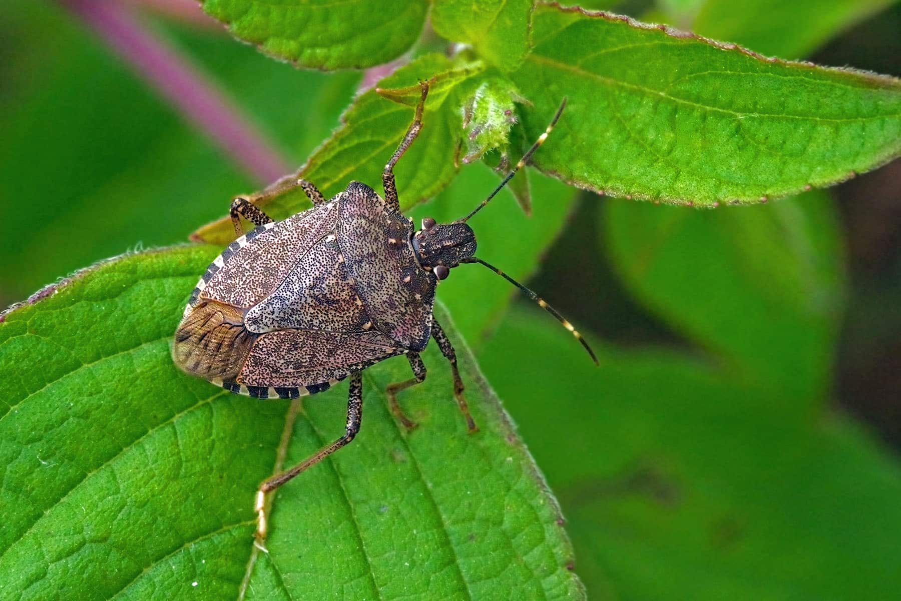 How To Get Rid Of Stink Bugs In Your House 7 Steps Bug