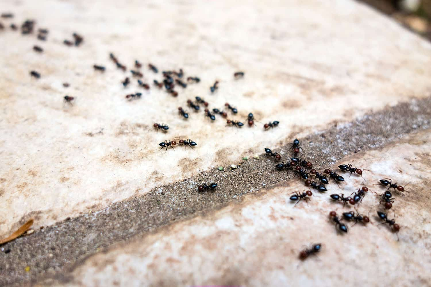 5 Steps To Get Rid Of Black House Ants Diy How To Bug Lord