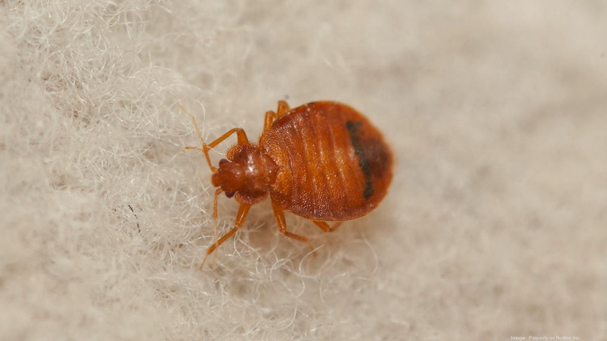 flat bed bug