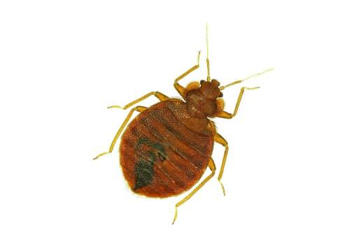 bed bug example