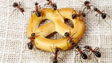 how to get rid of an ant colony in home featured