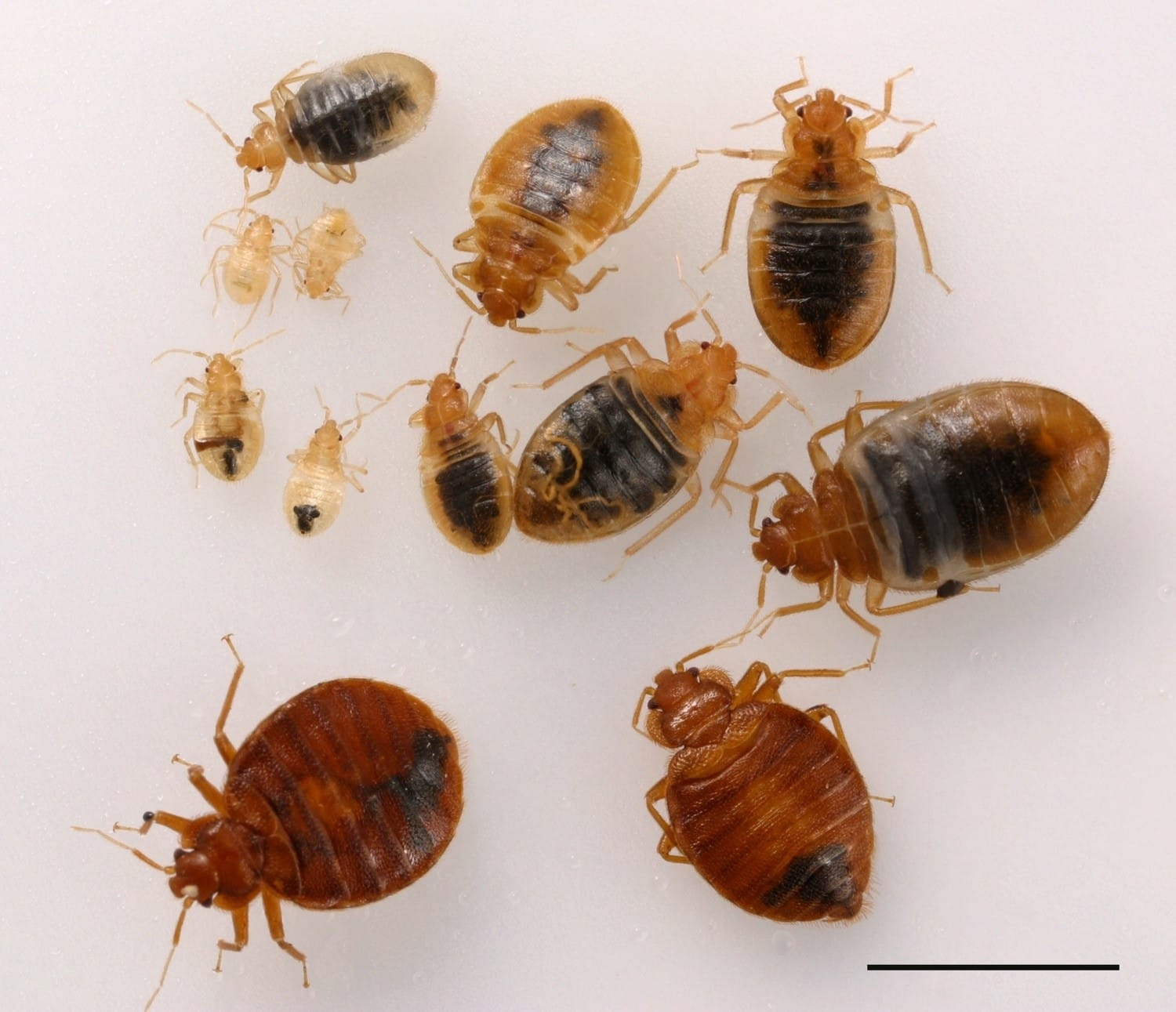 bed bugs life cycles