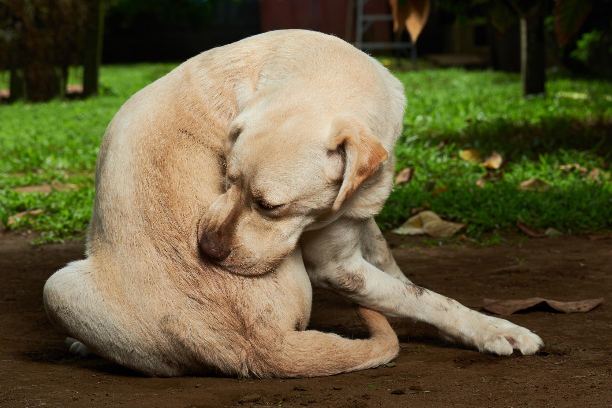 dog itching fleas