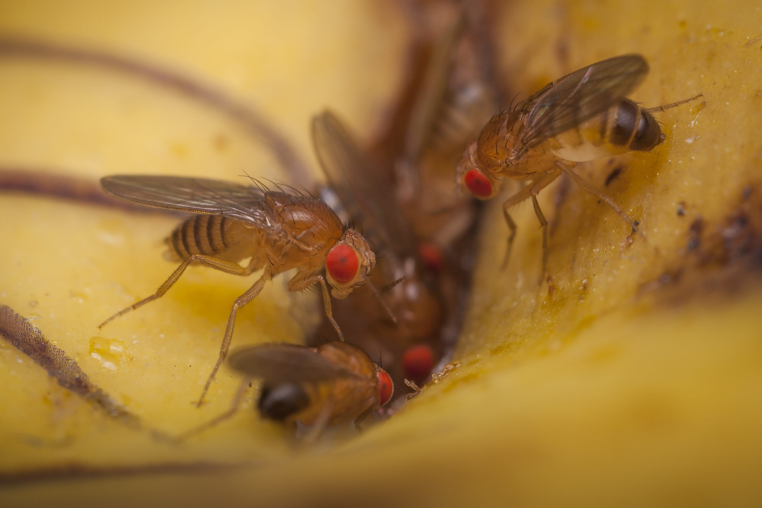 How To Get Rid Of Fruit Flies 4 Steps Bug Lord