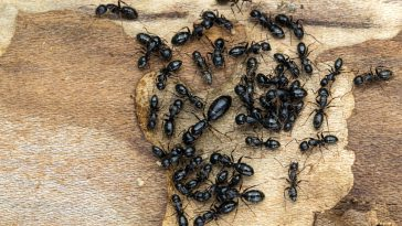 carpenter ants in house