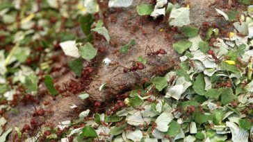 how to get rid of leaf cutter ants